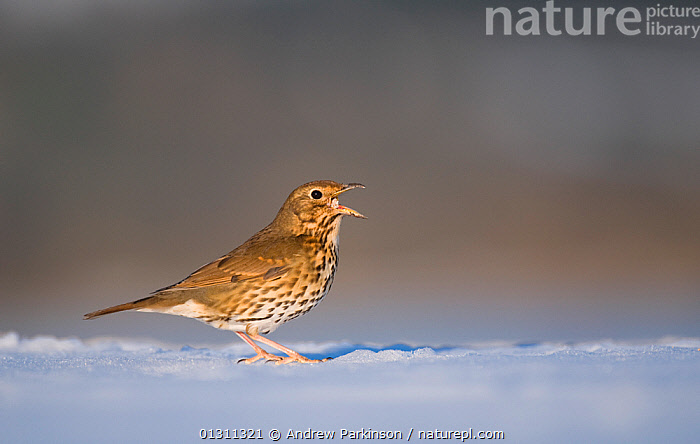 Song thrush (Turdus philomelos) feeding on snow covered ground. Derbyshire, UK, January (non-ex), BIRDS,ENGLAND,FEEDING,SNOW,SONGBIRDS,THRUSHES,UK,VERTEBRATES,WINTER,Europe,United Kingdom, Andrew Parkinson
