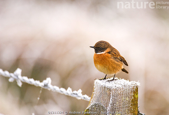 Stonechat (Saxicola torquatus) male perched on a frost covered fence post. Dumfries and Galloway, Scotland, UK. December. 