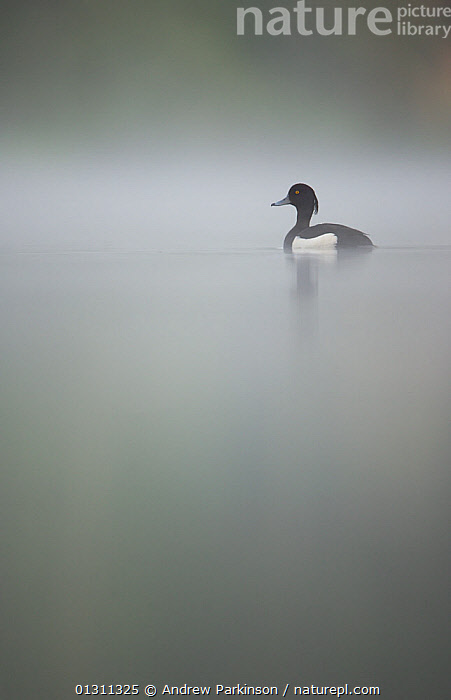 Tufted duck (Aythya fuligula) male on a tranquil lake in dawn mist. Derbyshire, UK, May.  (non-ex)  ,  advice,animal marking,BIRDS,BLACK,CALM,catalogue3,copyspace,DAWN,Derbyshire,DUCKS,ENGLAND,Lake,LAKES,male animal,MALES,MIST,misty,Nobody,one animal,outdoors,PEACEFUL,side view,SPRING,tranquil,UK,VERTEBRATES,VERTICAL,WATER,WATERFOWL,WHITE,WILDLIFE,wisdom,Europe,United Kingdom  ,  Andrew Parkinson