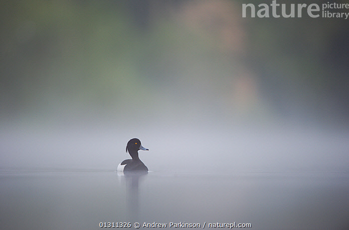 Tufted duck (Aythya fuligula) male on a lake in dawn mist. Derbyshire, UK, May (non-ex), BIRDS,CALM,DUCKS,ENGLAND,LAKES,MALES,PEACEFUL,SPRING,TRANQUIL,UK,VERTEBRATES,WATER,WATERFOWL,Europe,Concepts,United Kingdom,Wildfowl, Andrew Parkinson