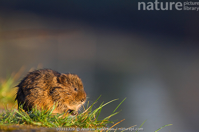 Water vole (Arvicola terrestris) in evening light sitting on the edge of a canal. Derbyshire, UK, April