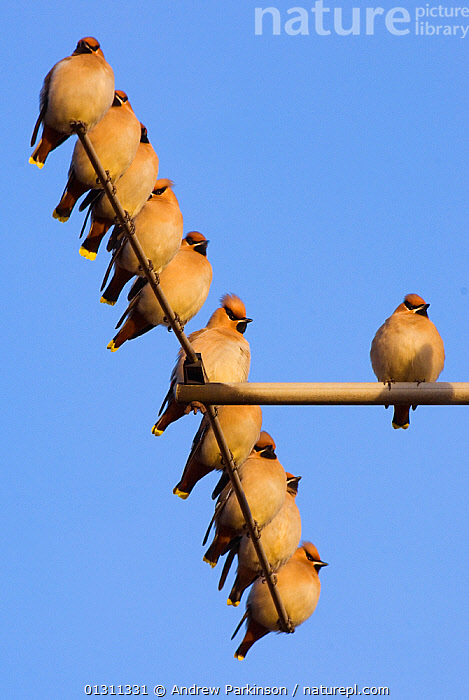 Small flock of Waxwings (Bombycilla garrulus) perched on a house TV aerial. Nottinghamshire, UK, January.  (non-ex)  ,  BIRDS,ENGLAND,FLOCKS,SONGBIRDS,UK,URBAN,VERTEBRATES,VERTICAL,WAXWINGS,WINTER,Europe,United Kingdom  ,  Andrew Parkinson
