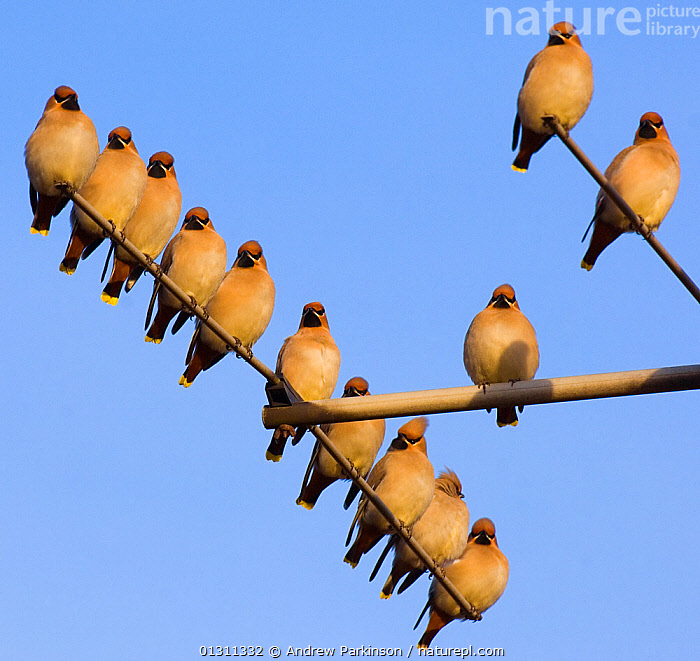 Small flock of Waxwings (Bombycilla garrulus) perched on a house TV aerial. Nottinghamshire, UK, January.  (non-ex), alert,BIRDS,blue sky,catalogue3,clear sky,ENGLAND,FLOCKS,GROUPS,identical,large group,large group of animals,low angle view,Nobody,Nottinghamshire,outdoors,Perching,safety in numbers,songbirds,standing out from the crowd,TV aerial,UK,URBAN,VERTEBRATES,WAXWINGS,WILDLIFE,WINTER,Europe,United Kingdom, Andrew Parkinson