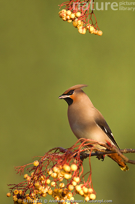 Waxwing (Bombycilla garrulus) perched in a Rowan tree (Sorbus) branch, with berries, Nottinghamshire, UK, January (non-ex), BIRDS,ENGLAND,FLOCKS,FRUIT,SONGBIRDS,SORBUS SP,UK,VERTEBRATES,VERTICAL,WAXWINGS,WINTER,YELLOW,Europe,Plants,United Kingdom, Andrew Parkinson