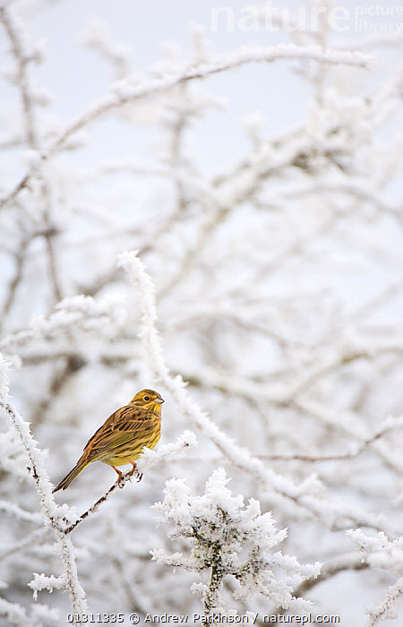 Yellowhammer (Emberiza citrinella) female perched on frost covered branches. Dumfries and Galloway, Scotland, UK. December (non-ex), BIRDS,BUNTINGS,FEMALES,FROST,SCOTLAND,UK,VERTEBRATES,VERTICAL,WINTER,Weather,Europe,United Kingdom, Andrew Parkinson