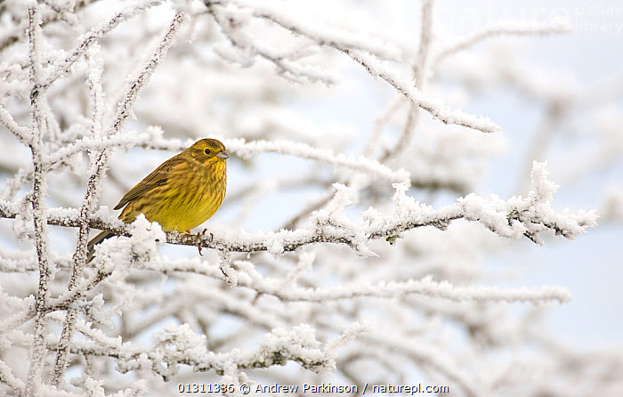 Yellowhammer (Emberiza citrinella) female perched on frost covered branches. Dumfries and Galloway, Scotland, UK. December (non-ex), BIRDS,BUNTINGS,FEMALES,FROST,SCOTLAND,UK,VERTEBRATES,WINTER,Weather,Europe,United Kingdom, Andrew Parkinson