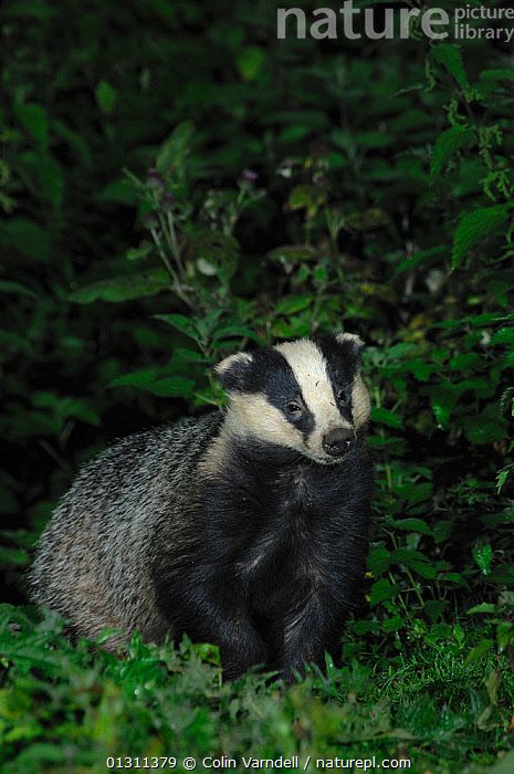 Badger (Meles meles) foraging at dusk. Dorset, England, UK, September  ,  BADGERS,CARNIVORES,DUSK,FORAGING,MAMMALS,MUSTELIDS,NIGHT,NOCTURNAL,PORTRAITS,UK,VERTEBRATES,Europe,United Kingdom  ,  Colin Varndell