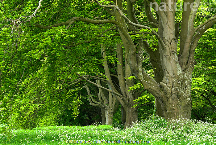 European Beech tree (Fagus sylvatica) avenue in woodland, near Badbury Rings, Dorset, UK. May 2008, DICOTYLEDONS,FAGACEAE,GREEN,PLANTS,SPRING,TREES,UK,WOODLANDS,Europe,United Kingdom, Colin Varndell