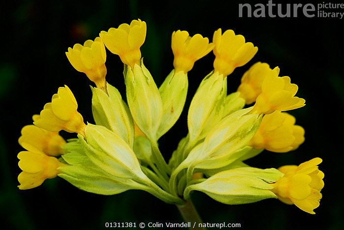Cowslip (Primula veris)  stem of flowers, close-up, Somerset, UK, May, CLOSE UPS,DICOTYLEDONS,FLOWERS,PLANTS,PRIMULACEAE,SPRING,UK,YELLOW,Europe,United Kingdom, Colin Varndell