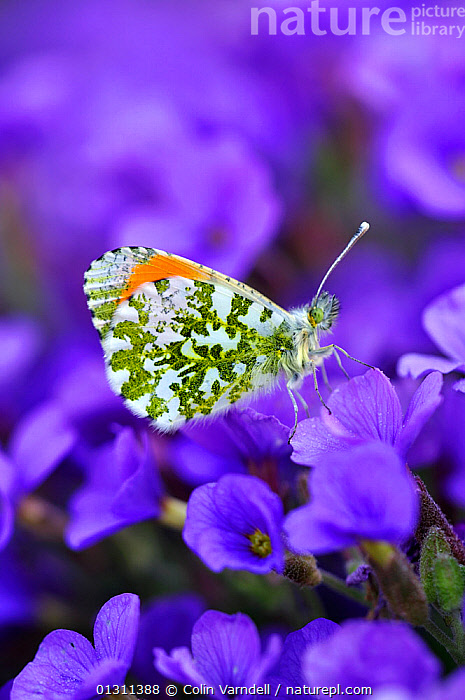 Male Orange tip butterfly (Anthocharis cardamines) at rest on Aubretia flowers. Dorset, UK April 2010, ARTHROPODS,BUTTERFLIES,COLOURFUL,FLOWERS,INSECTS,INVERTEBRATES,LEPIDOPTERA,MALES,PORTRAITS,SPRING, Colin Varndell