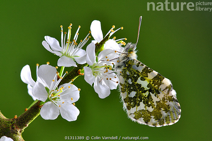 Female Orange tip butterfly (Anthocharis cardamines) at rest on Blackthorn (Prunus spinosa) blossom. Dorset, UK April, ARTHROPODS,BUTTERFLIES,FEMALES,FLOWERS,INSECTS,INVERTEBRATES,LEPIDOPTERA,PRUNUS SPINOSA,SPRING, Colin Varndell