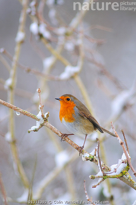 Robin (Erithacus rebecula) perched on snow covered branch, in winter. Dorset, England, UK January  ,  BIRDS,CHATS,CHRISTMAS,ERITHACUS,SNOW,SONGBIRDS,UK,VERTEBRATES,WEATHER,WINTER,Europe,United Kingdom  ,  Colin Varndell
