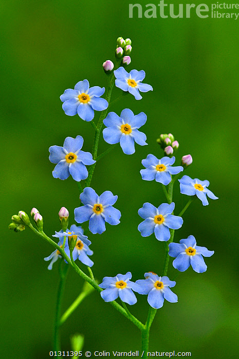 Water Forget-me-not (Myosotis scorpioides) in flower. Kingcombe Meadows nature reserve, Dorset, England, UK, June, BLUE,BORAGINACEAE,DICOTYLEDONS,FLOWERS,PLANTS,RESERVE,SUMMER,UK,Europe,United Kingdom, Colin Varndell