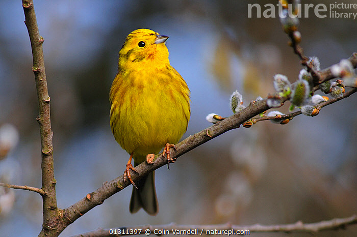 Male Yellowhammer perched on branch of Sallow catkins, in breeding condition. Dorset, UK, April, 2010, BIRDS,BREEDING PLUMAGE,BUNTINGS,CAKTKINS,FLOWERS,MALES,SONGBIRDS,SPRING,UK,VERTEBRATES,Europe,United Kingdom, Colin Varndell