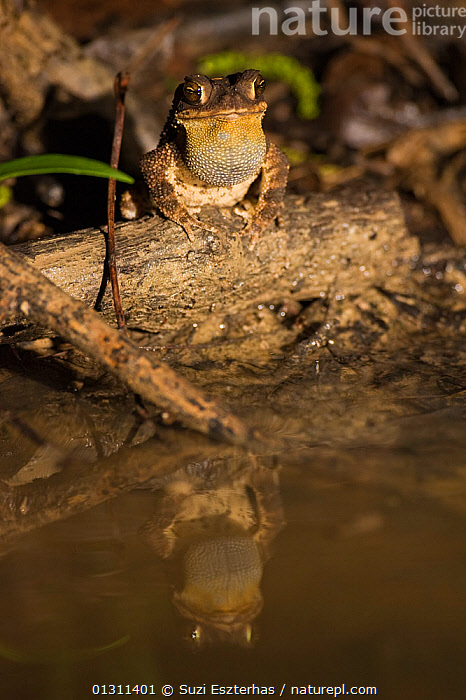 Gulf Coast Toad (Bufo valliceps) sitting at edge of water, with reflections, Red Corral Ranch, Texas, USA, AMPHIBIANS,ANURA,NORTH AMERICA,REFLECTIONS,TOADS,USA,VERTEBRATES,VERTICAL,WATER, Suzi Eszterhas