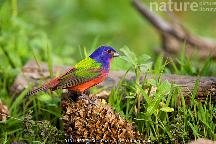 Painted Bunting (Passerina ciris) perched on fir cone, on grass, Red Corral Ranch, Texas, USA, April  ,  BIRDS,BUNTINGS,COLOURFUL,NORTH AMERICA,PORTRAITS,USA,VERTEBRATES  ,  Suzi Eszterhas