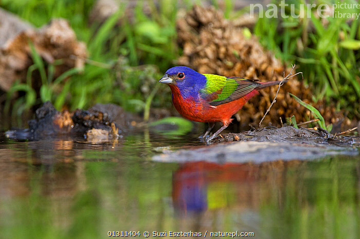 Painted Bunting (Passerina ciris) at edge of water, with reflections, Red Corral Ranch, Texas, USA, April  ,  BIRDS,BUNTINGS,COLOURFUL,NORTH AMERICA,PORTRAITS,REFLECTIONS,USA,VERTEBRATES,WATER  ,  Suzi Eszterhas
