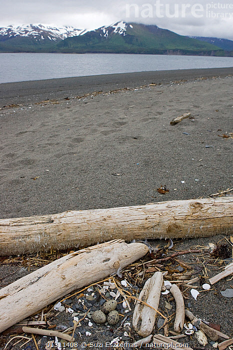 Glaucous-winged Gull eggs (Larus glaucescens) nest amongst driftwood debris, Katmai National Park, Alaska, USA, June 2008, BEACHES,BIRDS,COASTS,EGGS,GULLS,NESTS,NORTH AMERICA,NP,SEABIRDS,USA,VERTEBRATES,VERTICAL,National Park, Suzi Eszterhas