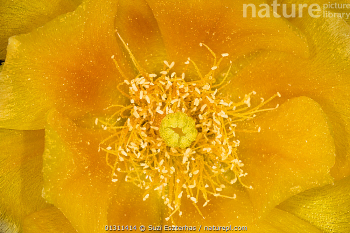 Prickly Pear Cactus (Opuntia mercerize) close-up of stamen and petals of flower, Red Corral Ranch, Texas, USA, ABSTRACT,CACTACEAE,CACTI,CACTUS,COLOURFUL,DICOTYLEDONS,MACRO,NORTH AMERICA,PETALS,PLANTS,STAMENS,USA,YELLOW, Suzi Eszterhas