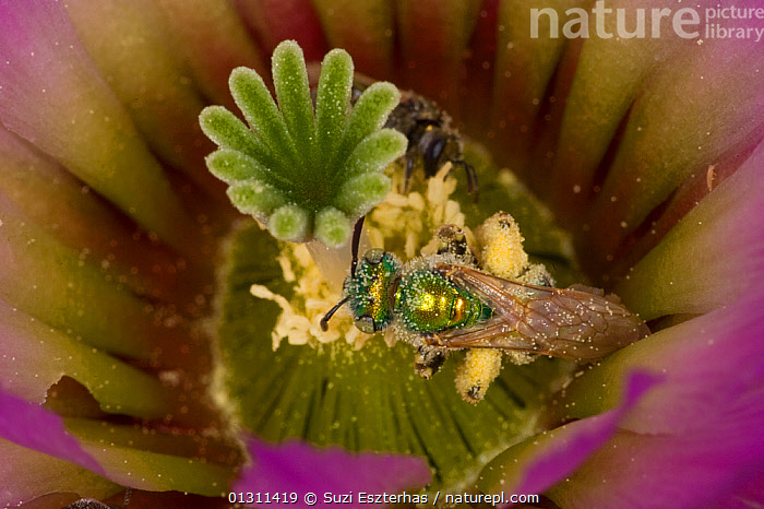 Sweat Bee (Halictidae) pollinating Lace Cactus (Echinocereus reichenbachii) Red Corral Ranch, Texas, ARTHROPODS,BEES,CLOSE UPS,COLOURFUL,FLOWERS,FORAGING,HYMENOPTERA,INSECTS,INVERTEBRATES,NECTAR,NORTH AMERICA,POLLINATION,PRICKLY PEAR ,PURPLE,USA, Suzi Eszterhas
