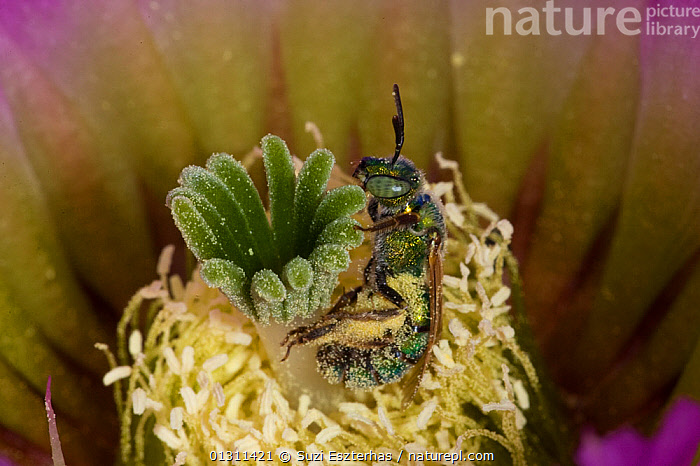 Sweat Bee (Halictidae) pollinating Lace Cactus (Echinocereus reichenbachii) Red Corral Ranch, Texas, USA, ARTHROPODS,BEES,CACTI,CLOSE UPS,COLOURFUL,FLOWERS,FORAGING,HYMENOPTERA,INSECTS,INVERTEBRATES,NECTAR,NORTH AMERICA,POLLINATION,USA,Plants, Suzi Eszterhas