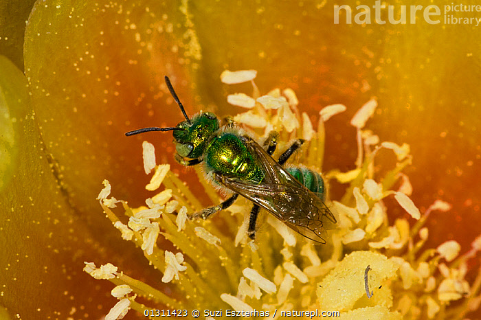 Sweat Bee (Halictidae) pollinating Prickly Pear Cactus (Opuntia mercerize) Red Corral Ranch, Texas, USA, ARTHROPODS,BEES,CLOSE UPS,COLOURFUL,FLOWERS,FORAGING,HYMENOPTERA,INSECTS,INVERTEBRATES,NECTAR,NORTH AMERICA,PRICKLY PEAR ,USA, Suzi Eszterhas