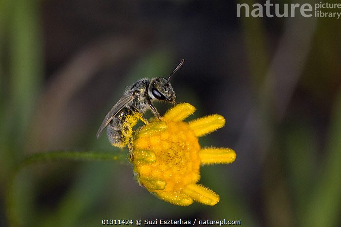 Sweat Bee (Halictidae) on flower, Red Corral Ranch, Texas, USA *Digitally removed twig in background, ARTHROPODS,BEES,CLOSE UPS,COLOURFUL,FLOWERS,FORAGING,HYMENOPTERA,INSECTS,INVERTEBRATES,NECTAR,NORTH AMERICA,POLLINATION,PRICKLY PEAR ,USA,YELLOW, Suzi Eszterhas