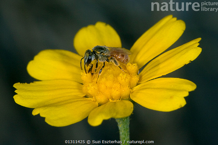 Sweat Bee (Halictidae) pollinating flower, Red Corral Ranch, Texas, USA, ARTHROPODS,BEES,CLOSE UPS,COLOURFUL,FLOWERS,FORAGING,HYMENOPTERA,INSECTS,INVERTEBRATES,NECTAR,NORTH AMERICA,POLLINATION,USA,YELLOW, Suzi Eszterhas