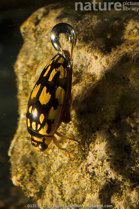 Sunburst / Marbled diving beetle (Thermonectus marmoratus) underwater, with air bubble, Corral Ranch, Texas, USA, AIR,BEHAVIOUR,BREATHING,COLEOPTERA,DIVING BEETLES,DYTISCIDAE,FRESHWATER,INSECTS,INVERTEBRATES,LAKES,NORTH AMERICA,PONDS,SWIMMING,TEMPERATE,UNDERWATER,USA,VERTICAL, Suzi Eszterhas