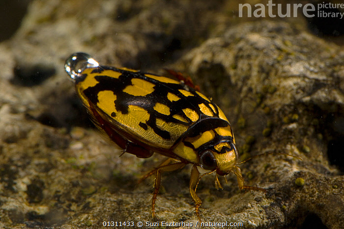 Sunburst / Marbled diving beetle (Thermonectus marmoratus) swimming underwater, with air bubble, Corral Ranch, Texas, USA, AIR,BREATHING,COLEOPTERA,DIVING BEETLES,DYTISCIDAE,FRESHWATER,INSECTS,INVERTEBRATES,LAKES,NORTH AMERICA,PONDS,TEMPERATE,UNDERWATER,USA, Suzi Eszterhas