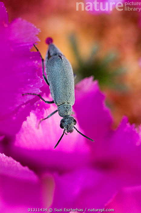 Leaf Beetle (Chrysomelidae) on Lace Cactus blossom (Echinocereus reichenbachii) Red Corral Ranch, Texas, USA, BEETLES,COLEOPTERA,FLOWERS,INSECTS,INVERTEBRATES,LEAF BEETLES,NORTH AMERICA,PETALS,PURPLE,USA,VERTICAL, Suzi Eszterhas