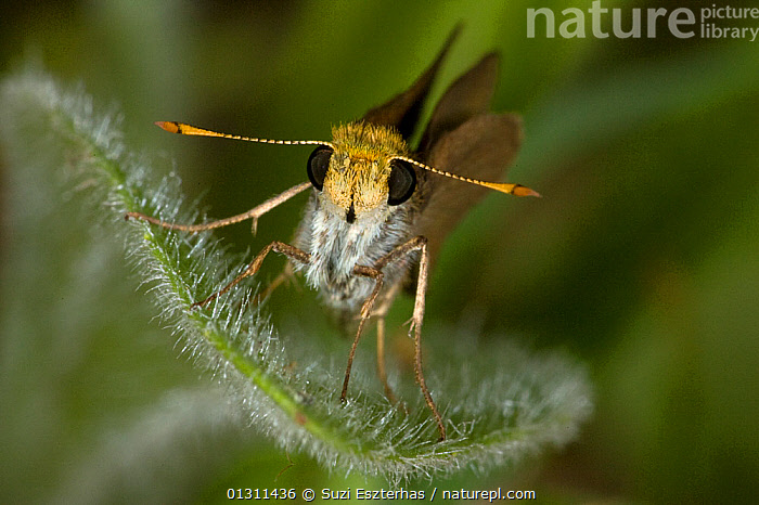 Julia�s skipper butterfly (Nastra julia) portrait at rest on leaf, Red Corral Ranch, Texas, USA  ,  BUTTERFLIES,HESPERIIDAE,INSECTS,INVERTEBRATES,LEPIDOPTERA,NORTH AMERICA,PORTRAITS,USA  ,  Suzi Eszterhas