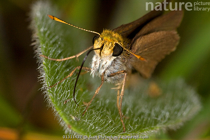Julia�s Skipper butterfly (Nastra julia) portrait at rest on leaf, Red Corral Ranch, Texas, USA, BUTTERFLIES,CLOSE UPS,HESPERIIDAE,INSECTS,INVERTEBRATES,LEPIDOPTERA,NORTH AMERICA,PORTRAITS,USA, Suzi Eszterhas