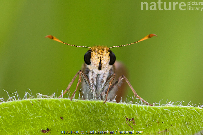 Julia�s Skipper butterfly (Nastra julia) head portrait showing eyes and antennas, Red Corral Ranch, Texas, USA, ANTENNAS,BUTTERFLIES,EYES,FACES,HESPERIIDAE,INSECTS,INVERTEBRATES,LEPIDOPTERA,NORTH AMERICA,USA, Suzi Eszterhas