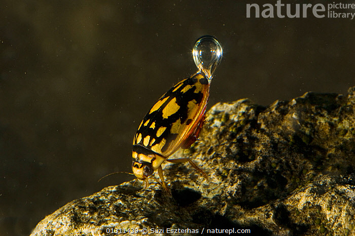 Sunburst / Marbled diving beetle (Thermonectus marmoratus) swimming underwater with air bubble, Red Corral Ranch, Texas, USA, AIR,BEHAVIOUR,COLEOPTERA,DIVING,DIVING BEETLES,DYTISCIDAE,FRESHWATER,INSECTS,INVERTEBRATES,NORTH AMERICA,SWIMMING,UNDERWATER,USA, Suzi Eszterhas