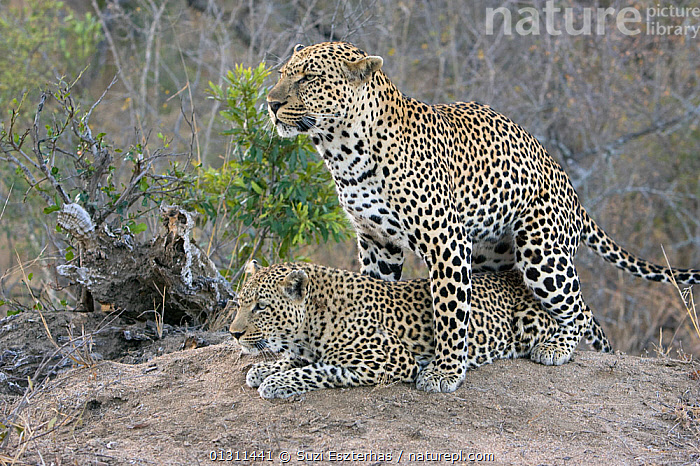 Pair of Leopards (Panthera pardus) mating,