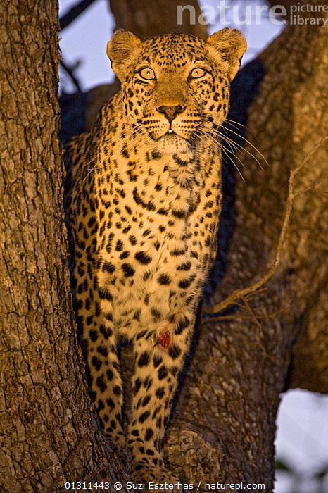 Leopard (Panthera pardus) portrait, with injury / wound to foreleg, standing in tree, Mala Mala Game Reserve, South Africa, BIG CATS,CARNIVORES,INJURED,LEOPARDS,MAMMALS,PORTRAITS,SOUTH AFRICA,STANDING,TREES,VERTEBRATES,VERTICAL,WOUNDED,WOUNDS,PLANTS, Suzi Eszterhas