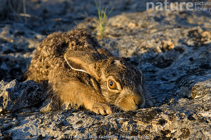 Close up of Black-tailed Jackrabbit (Lepus californium) juvenile,  hunkered down, camouflaged against rock, Red Corral Ranch, Texas, USA, BABIES,CAMOUFLAGE,CLOSE UPS,HIDING,JUVENILE,LANDSCAPES,NORTH AMERICA,USA,YOUNG,Lagomorphs,Mammals, Suzi Eszterhas