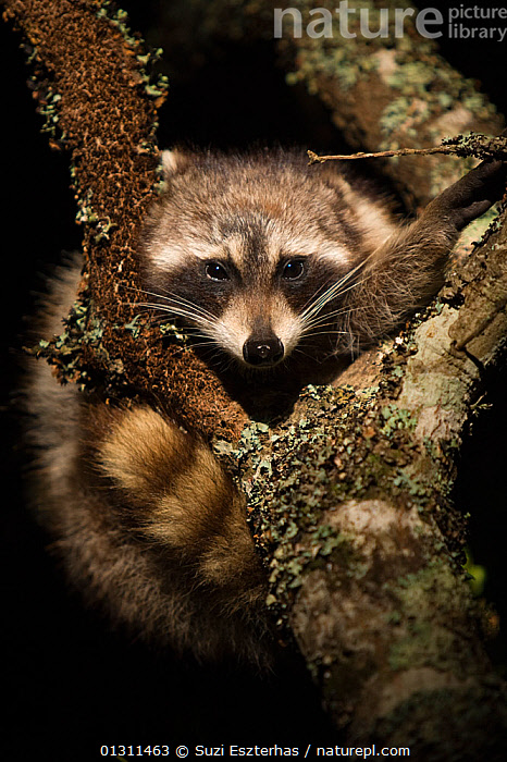 Common Raccoon (Procyon lotor) climbing in tree, 