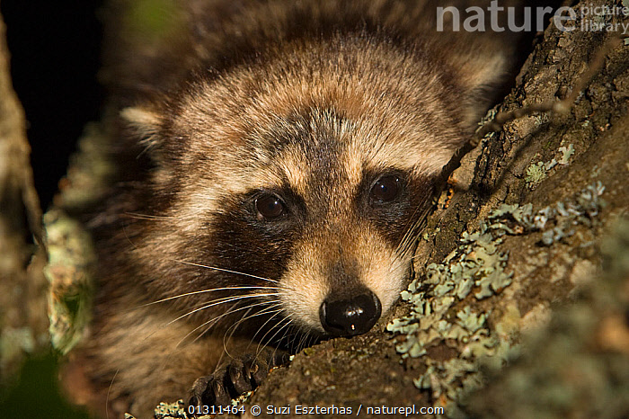Common Raccoon (Procyon lotor) head portrait, sitting in tree branch, Red Corral Ranch, Texas, USA, CARNIVORES,CLOSE UPS,MAMMALS,NORTH AMERICA,PORTRAITS,RACCOONS,TREES,USA,VERTEBRATES,PLANTS, Suzi Eszterhas