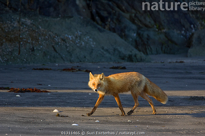 Red Fox (Vulpes vulpes) walking along beach,
