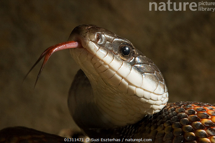 Texas Rat Snake (Elaphe obsoleta lindheimerii) head portrait with forked tongue protruding  Red Corral Ranch, Texas, USA, CLOSE-UPS, COLUBRIDS, EYES, HEADS, NORTH-AMERICA, PORTRAITS, REPTILES, SNAKES, TONGUES, USA, VERTEBRATES,North America,Muridae,Rodents,Mammals, Suzi Eszterhas