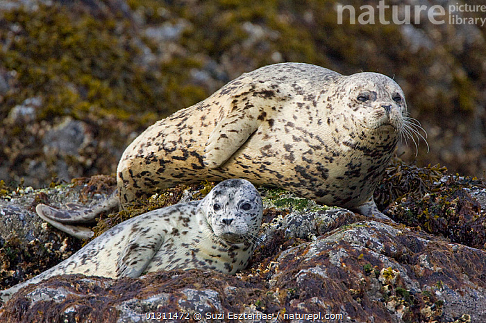 Harbour / Common Seals (Phoca vitulina) resting on rocks, Katmai National Park, Alaska, USA  ,  CARNIVORES,HARBOR,HARBOR SEAL,MAMMALS,MARINE,NORTH AMERICA,NP,PINNIPEDS,PORTRAITS,SEALS,USA,VERTEBRATES,National Park  ,  Suzi Eszterhas