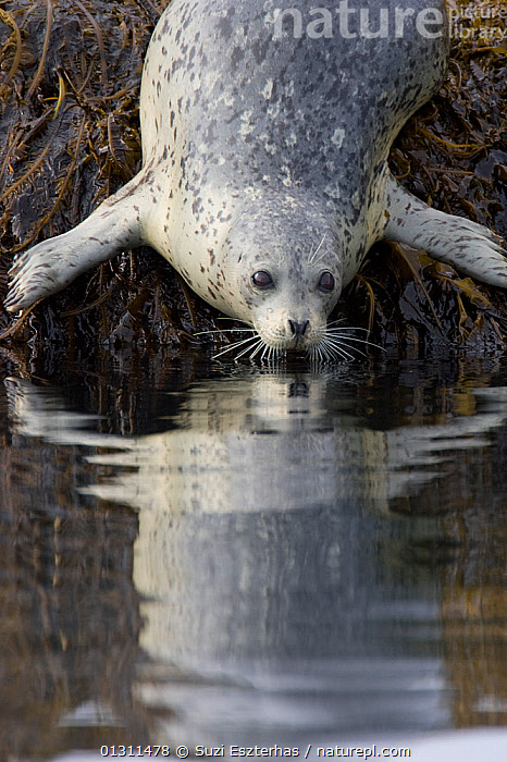 Harbour / Common Seal (Phoca vitulina) moving from an exposed rock into the water, Katmai National Park, Alaska, USA, CARNIVORES,HARBOR SEAL,HARBOUR SEAL,MAMMALS,MARINE,NORTH AMERICA,NP,PINNIPEDS,REFLECTIONS,SEALS,SURFACE,USA,VERTEBRATES,VERTICAL,WATER,National Park, Suzi Eszterhas