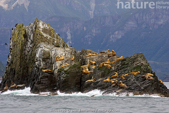Colony of Steller's Sea Lions (Eumetopias jubatus) resting on exposed cliff along coastline, 