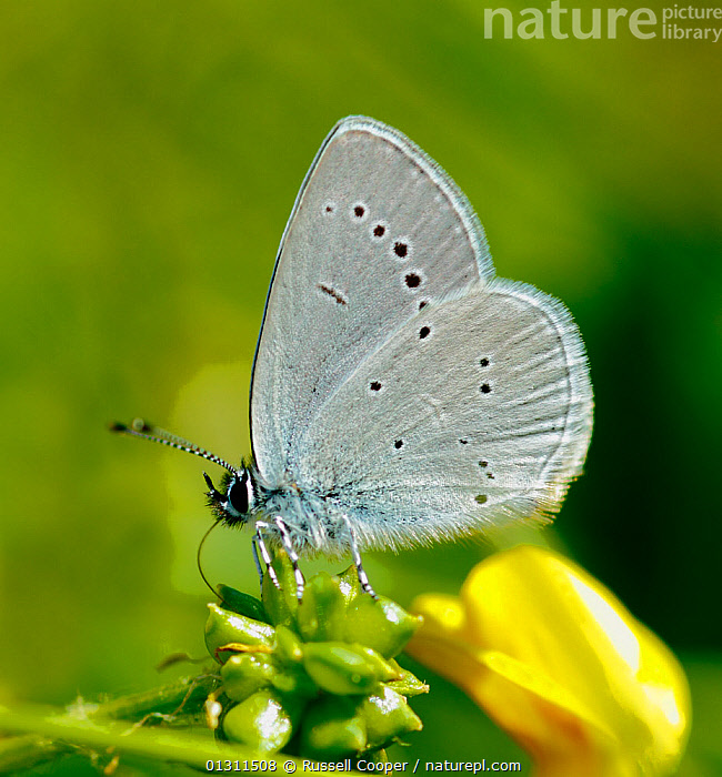 Small Blue Butterfly (Cupido minimus) at rest on flower, Surrey, UK, June., ARTHROPODS,BUTTERFLIES,FLOWERS,INSECTS,INVERTEBRATES,LEPIDOPTERA,LITTLE BLUE,PORTRAITS,SUMMER,UK,Europe,United Kingdom, Russell Cooper