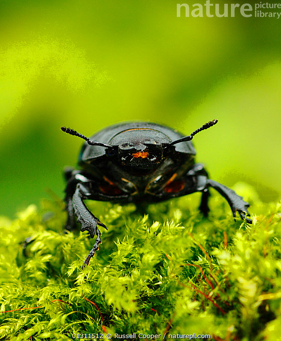 Female Stag Beetle (Lucanus cervus) showing antennae, standing on moss. Captive, Morden, South London. UK, ANTENNAE,BEETLES,CLOSE UPS,COLEOPTERA,FEMALES,HEADS,INSECTS,INVERTEBRATES,MOSS,PORTRAITS,STAG BEETLES,UK,Europe,United Kingdom, Russell Cooper