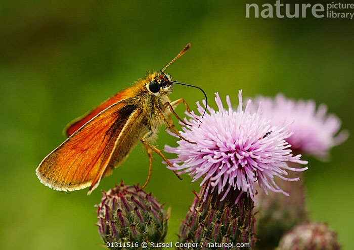Small Skipper Butterfly (Thymelicus sylvestris) feeding from Thistle flowers, Morden, South London. 