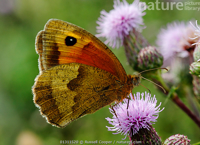 Meadow Brown Butterfly (Maniola jurtina) feeding from Thistle flowers, Morden, South London, UK, ARTHROPODS,BUTTERFLIES,FEEDING,FLOWERS,INSECTS,INVERTEBRATES,LEPIDOPTERA,NECTAR,PURPLE,SUMMER,UK,Europe,United Kingdom, Russell Cooper