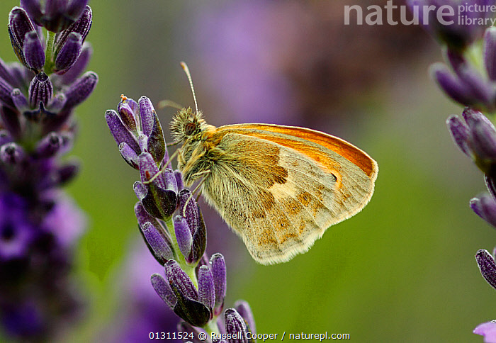 Small Heath Butterfly (Coenonympha pamphilus) on Lavender (Lavandula sp.) flowers, Mayfield Lavender Farm, North Downs, Surrey. UK, July  ,  ARTHROPODS,BUTTERFLIES,COLOURFUL,FEEDING,FLOWERS,INSECTS,INVERTEBRATES,LAVANDULA SP ,LEPIDOPTERA,NECTAR,PURPLE,SUMMER,UK,Europe,United Kingdom  ,  Russell Cooper